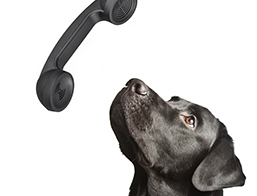 Black Labrador Retriever and Phone
